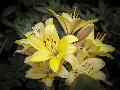 Photograph - Hybrid Daylily by Albert Seger