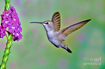 Annas Hummingbird Art Print by Anthony Mercieca