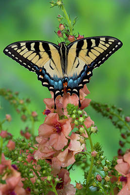 Tiger Swallowtail Photograph - Eastern Tiger Swallowtail Butterfly by Darrell Gulin