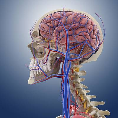 Head And Neck Anatomy, Artwork Print by Science Photo Library