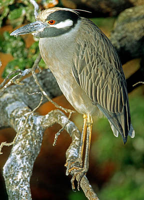 Photograph - Yellow-crowned Night Heron by Millard H. Sharp
