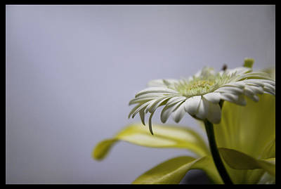 Photograph - Enlightened Daisy #2 - 310042 by TNT Images