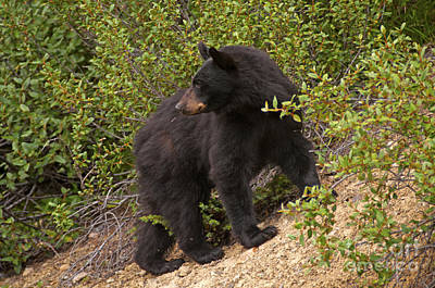 Photograph - 318p Black Bear by NightVisions