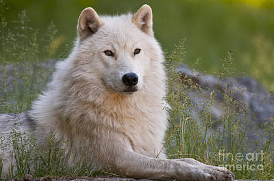 Animals Royalty-Free and Rights-Managed Images - Arctic Wolf by Wolves Only