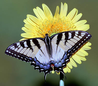 Photograph - Eastern Tiger Swallowtail Butterfly by Millard H. Sharp
