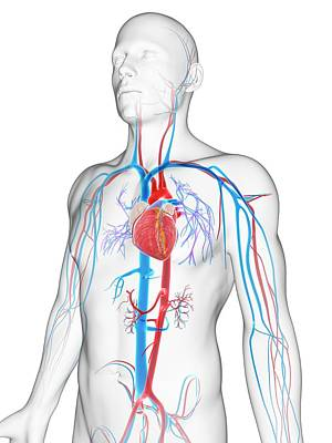 Biomedical Illustration Photograph - Human Vascular System by Sebastian Kaulitzki