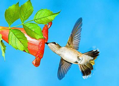 Photograph - Ruby Throated Hummingbird Female by Millard H. Sharp