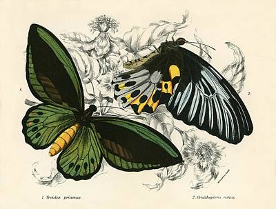 Butterflies Art Print by English School