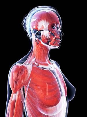 Female Muscular System Art Print by Sebastian Kaulitzki