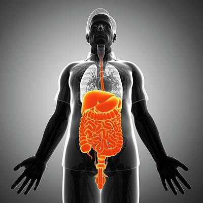 Male Digestive System Art Print by Pixologicstudio/science Photo Library
