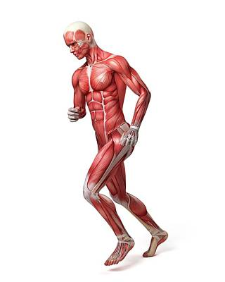 Jogging Photograph - Male Muscular System by Sebastian Kaulitzki