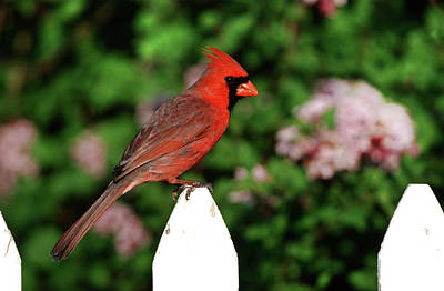 Northern Cardinal (cardinalis Cardinalis Art Print by Richard and Susan Day