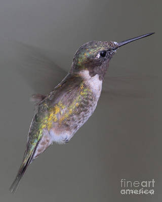 Photograph - Ruby Throated Hummingbird by Steve Javorsky