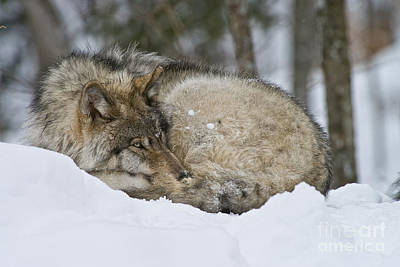 Photograph - Timber Wolf by Wolves Only