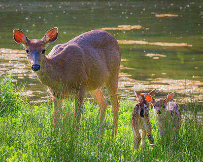 Twin Fawns Photograph - Usa, Washington State, Seabeck by Jaynes Gallery