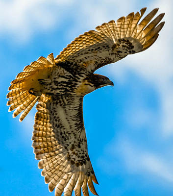 Red-tailed Hawk Art Print by Brian Stevens
