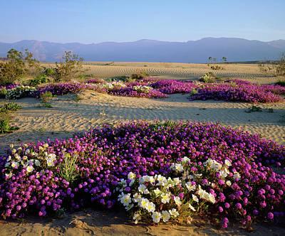 Primroses Photograph - Usa, California, Anza-borrego Desert by Jaynes Gallery