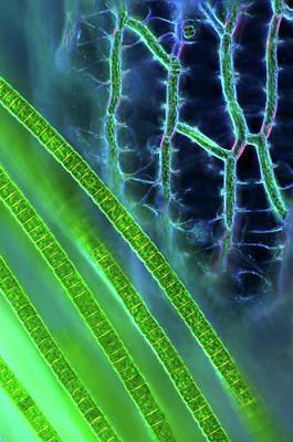 Desmids On Sphagnum Moss Print by Marek Mis