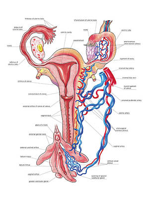 Female Genital System Art Print by Asklepios Medical Atlas