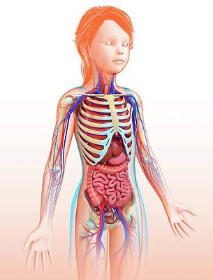 Human Internal Organs Art Print by Pixologicstudio/science Photo Library
