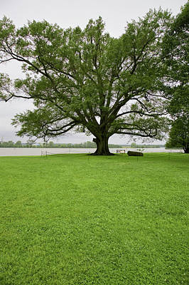 Historic Site Photograph - 350 Year Old Willow-oak Of Shirley by Panoramic Images