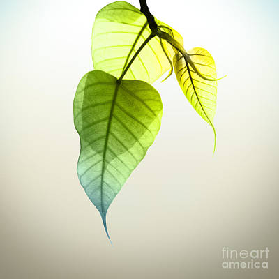 Bodhi Tree Photograph - Pho Or Bodhi by Atiketta Sangasaeng