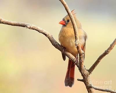 Photograph - Northern Cardinal by Jack R Brock