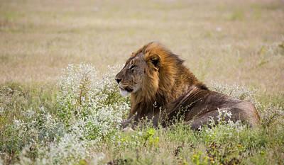 Leo Photograph - Africa, Namibia, Etosha National Park by Jaynes Gallery
