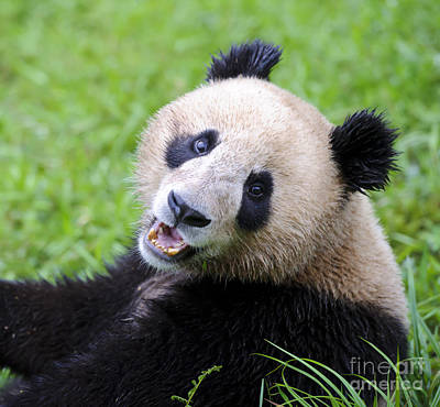Photograph - Giant Panda by John Shaw
