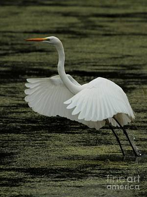 Photograph - Great Egret by Jack R Brock