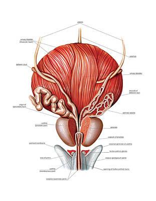 Male Genital System Art Print