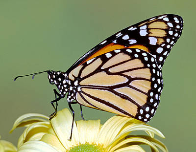 Photograph - Monarch Butterfly by Millard H. Sharp
