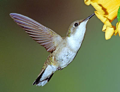 Photograph - Ruby-throated Hummingbird by Millard H. Sharp