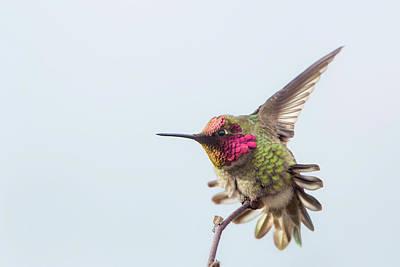Annas Hummingbirds Wall Art - Photograph - Usa, Washington State by Gary Luhm