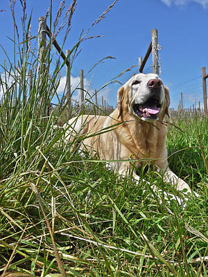 Photograph - Yellow Labrador by Steven Lapkin