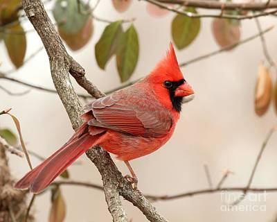 Photograph - Northern Cardinal by Jack R Brock