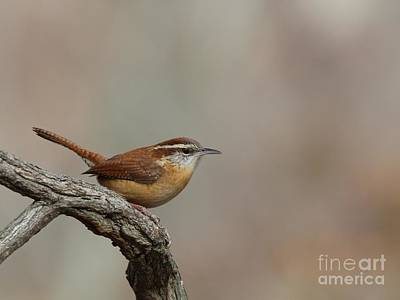 Photograph - Carolina Wren by Jack R Brock