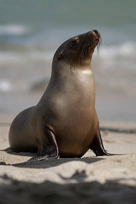 Seal Photograph - Usa, California, La Jolla by Jaynes Gallery