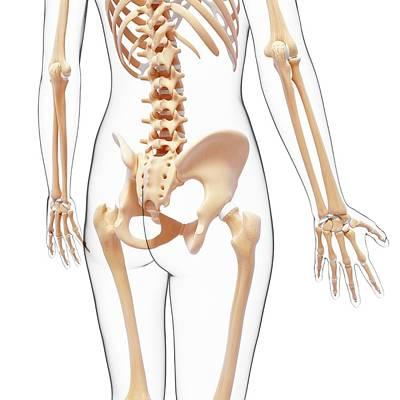 Human Skeleton Art Print by Pixologicstudio/science Photo Library
