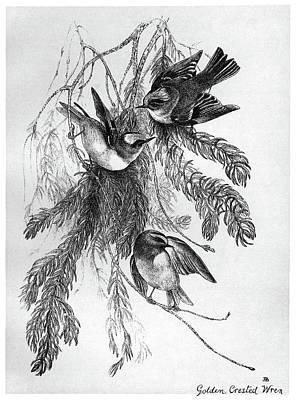 Wren Drawing - Blackburn Birds, 1895 by Granger