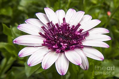 3d Berry White Cape Daisy - Osteospermum  Art Print