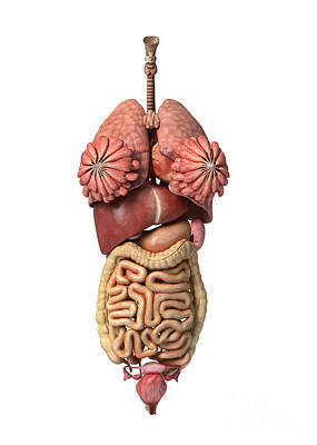 Internal Organs Digital Art - 3d Rendering Of Healthy Female Internal by Leonello Calvetti