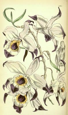 Closeup Drawing - 19th Century Botanical Colour  Print. Botanical Illustration by Quint Lox