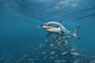 Neptune Islands Photograph - A Great White Shark Swims In Waters by Brian Skerry