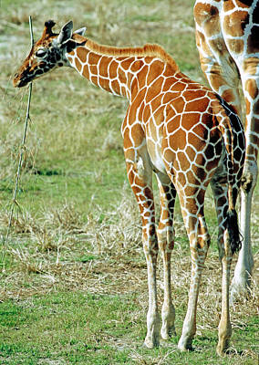 Photograph - Adult Reticulated Giraffe by Millard H. Sharp