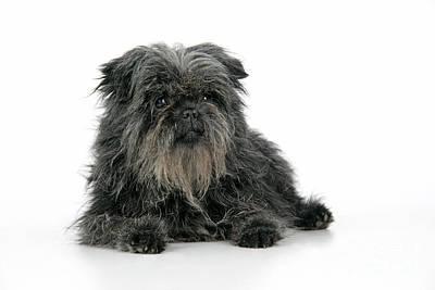 Affenpinscher Photograph - Affenpinscher Dog by John Daniels
