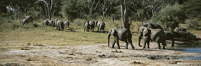 Zimbabwe Photograph - African Elephants Loxodonta Africana by Panoramic Images