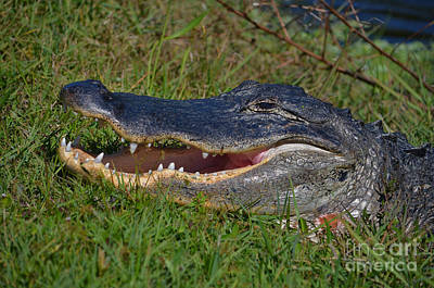 Photograph - 4- Alligator by Joseph Keane