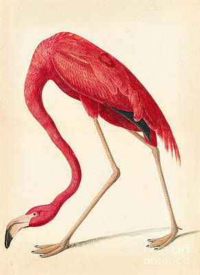 Flamingo Drawing - American Flamingo by Celestial Images