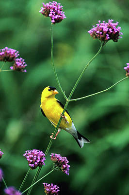 American Goldfinch (carduelis Tristis Art Print
